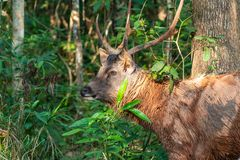 Thai male deer freely live in a jungle royalty free stock photo