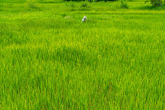 Thai male farmer working in green rice field Stock Photography