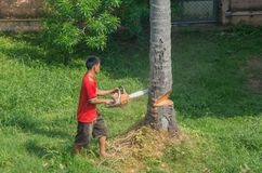 Thai man is cutting coconut palm tree in the garden with chainsaw. Koh Samui, Thailand - JAN 23, 2019: Thai man without protective gear is cutting coconut palm royalty free stock photo