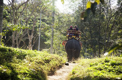 Thai man mahout riding elephant service people tour around forest Stock Image