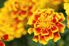 Thai  Marigold Flower Royalty Free Stock Photos