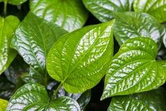 Thai medicinal plants. Material. Thai medicinal plants.(Wildbetal Leafbush or Piper sarmentosum Roxb&#x29 Stock Photos