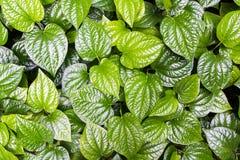 Thai medicinal plants. Material. Thai medicinal plants.(Wildbetal Leafbush or Piper sarmentosum Roxb Royalty Free Stock Photo