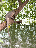 Thai monitor lizard lay over tree branch Stock Photo