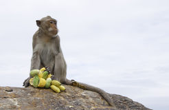 Thai monkey Royalty Free Stock Photos