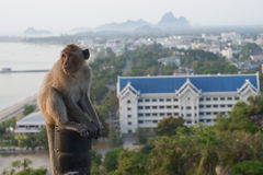 Thai monkey Royalty Free Stock Photography