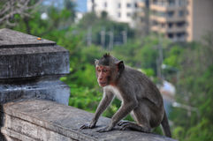 Thai monkey Stock Photo