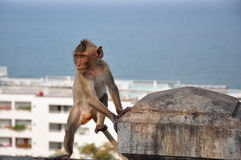 Thai monkey Royalty Free Stock Photo