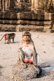 Thai monkey. Royalty Free Stock Photo