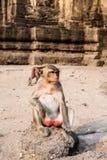 Thai monkey. Close up thai monkey in Triple Crown Castle,mom and baby monkeys,Phraphrangsamyod temple,Lopburi,Thailand Stock Photos
