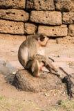 Thai monkey. Royalty Free Stock Photo