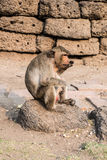 Thai monkey. Royalty Free Stock Images