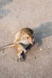 Thai monkey. Stock Images