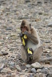 Thai monkey while dining on the rocks. Sitting Royalty Free Stock Images