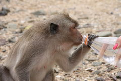 Thai monkey drinks water from bottle. Thai monkey drinking water from a bottle from his hands Stock Photo
