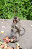 Thai monkey is eating fruits Royalty Free Stock Image