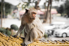 Thai Monkey Royalty Free Stock Images
