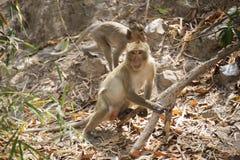 Thai Monkey Royalty Free Stock Photo