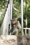 Thai monkey Stock Photography