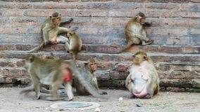 Thai monkey resting stock footage