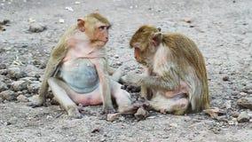 Thai monkey resting stock video