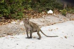 Thai Monkey Royalty Free Stock Images