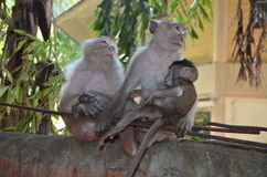 Thai monkeys 3. Family of monkeys seen near the Railay Beach, Thailand Royalty Free Stock Image