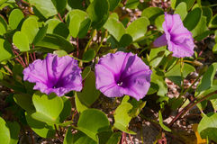Thai Morning Glory or Ipomoea aquatica. On the beach in Krabi royalty free stock photo