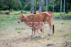 Thai native breed cow Stock Image