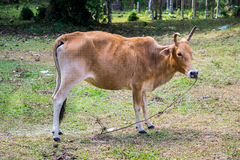 Thai native breed cow Royalty Free Stock Images