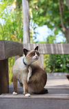 Thai native cats Stock Photo