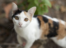 Thai native cats Royalty Free Stock Photos
