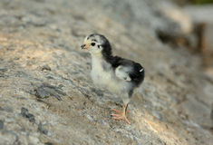 Thai native chick Stock Images