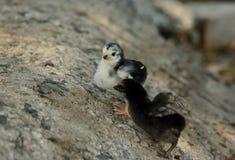 Thai native chick Stock Image