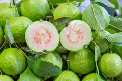 Thai guava Royalty Free Stock Images