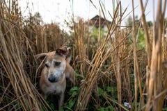 Thai native home dog Royalty Free Stock Image