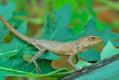 Thai native lizard or chameleon Royalty Free Stock Photo