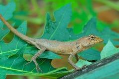 Thai native lizard or chameleon Royalty Free Stock Photo