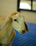 Thai native sheep Royalty Free Stock Image