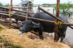 Thai native water buffalo farm at south of Thailand . Thai native water buffalo farm at south of Thailand photo with outdoor rain cloud low lighting Royalty Free Stock Image