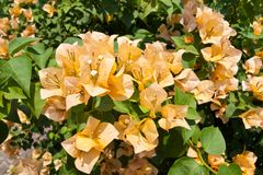 Thai Orange Bougainvillea Stock Images