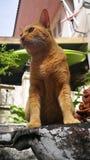 thai orange katt Fotografering för Bildbyråer