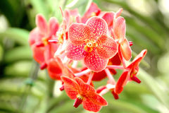 Thai Orange Orchid Royalty Free Stock Photo