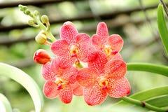 Thai Orange Orchid Stock Photo