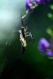 A Thai Orb Weaver Spider with a butterfly snack Stock Photo