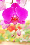 Thai orchid Royalty Free Stock Image