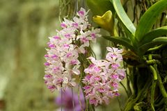 Thai Orchid. Royalty Free Stock Photo