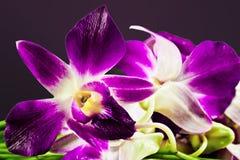 thai orchid Fotografering för Bildbyråer