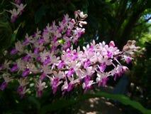 thai orchid Royaltyfri Bild