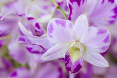 Thai Orchid Royalty Free Stock Photography
